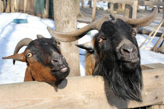 Two goat standing and watching. Two goats standing in the zoo and look . Goat shows tongue Royalty Free Stock Photography