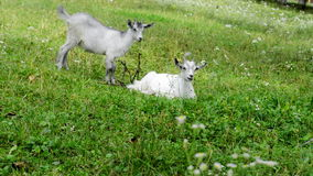 Two  goat. Two white goat on green meadow stock video