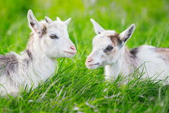 Two goatlings lying on grass Stock Photography