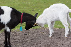 Two goats. Two bucking goats in the field Stock Image