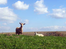 A Two Goats Royalty Free Stock Photos