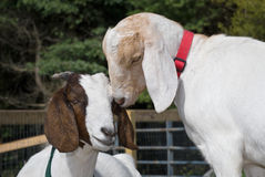 Two Goats Stock Photography