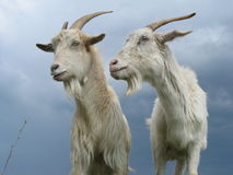 Free Two Goats Royalty Free Stock Photos - 8045098