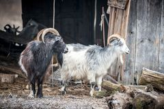 Two goats, black and white royalty free stock photography