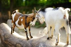 Two goats butting on a log on beautiful sunny summer day. Animals fighting Stock Image