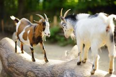 Two goats butting on a log on beautiful sunny summer day. Animals fighting Royalty Free Stock Photography