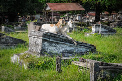 Two goats in cemetery Royalty Free Stock Photography