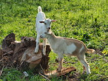 Two goats. A couple of lovely goats, standing on a stump royalty free stock photography