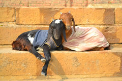 Two goats dressed up. Dark and light goat dressed up with clothes Royalty Free Stock Photos