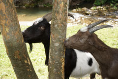 Two goats eat tree bark Royalty Free Stock Images