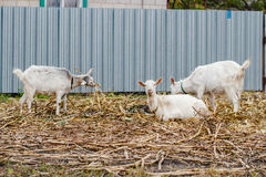 Two goats eating grass, one goat looking at the camera, white goats at the village in a cornfield, goats on autumn grass Royalty Free Stock Photos