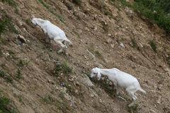 Two goats are eating grass on the steep sides. The loose gravel and sparse weeds on the hillside stock photography