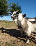 Two Goats on a Farm Royalty Free Stock Image