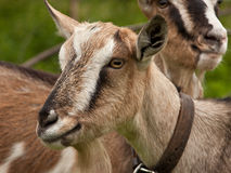 Two goats at farm Stock Photo