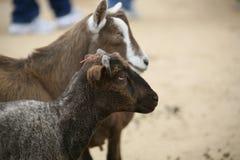 Two Goats on A Farm Stock Photos