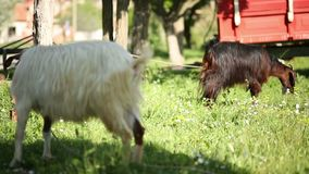 Two goats feeding theirself in nature, Turkey stock video footage