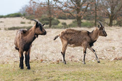 Two goats Stock Images