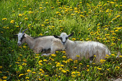 Two goats on the field of dandelions Royalty Free Stock Image