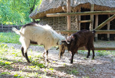 Two goats fighting Royalty Free Stock Photo