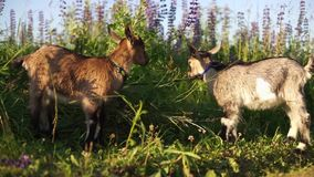 Two goats graze on the field, in the background grow lupines. stock video