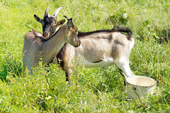 Two goats graze in the meadow Stock Photo