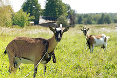 Two goats graze in the meadow Stock Images