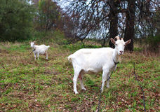 Two goats graze in the meadow in autumn Stock Image