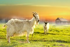 Two goats grazing in farmland. In the countryside Royalty Free Stock Photography