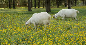 Two Goats Grazing in a Field of Buttercups stock footage