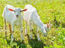 Two goats Royalty Free Stock Photo