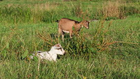 Two goats is grazing in the meadow. stock footage