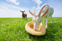 Two goats on a green meadow with a straw hat Royalty Free Stock Photos