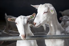 Two goats look bars of stable stock photos