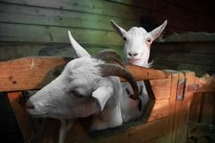 Two goats are looking stock image