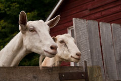 Two goats looking over a fence royalty free stock photo