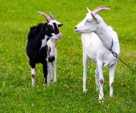 Goats on a meadow Stock Photo
