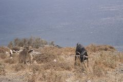 Two goats on a mountain royalty free stock images