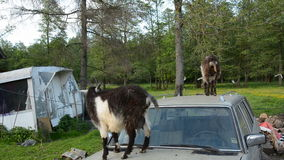 Two goats on old car Stock Photo