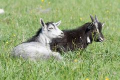 Two goats resting Stock Photo