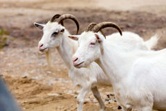Two goats. On the road Stock Image