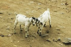 Two goats rubbing their heads in a cozy mood royalty free stock image