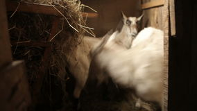 Two goats run around in the stable stock video footage