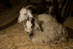 Two Goats sitting Royalty Free Stock Photo