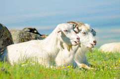 Two goats sitting in the green grass Stock Photos