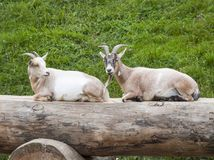 Two Goats Sitting on a Log royalty free stock photography