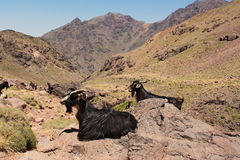 Two goats sitting on rocks in mountains. Trekking on Toubkal. Stock Photography