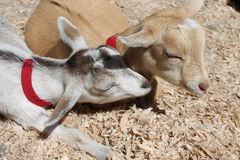 Two goats sleeping in the sun Royalty Free Stock Photos
