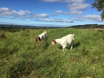 Two goats in South Australian farm Royalty Free Stock Photos
