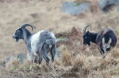 Two goats standing on a small mound in Scotland in February. Heavy snow can be seen falling in the air around it stock images