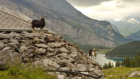 Two goats standing on the stony pile Stock Photos